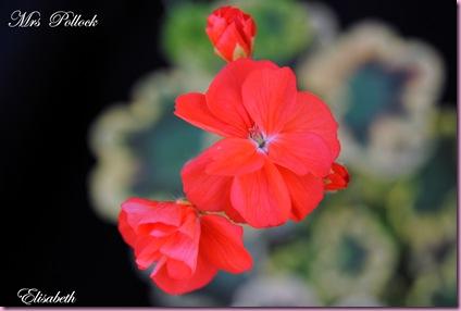 Pelargonium  juli -10 044