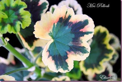 Pelargonium  juli -10 046