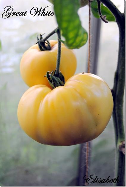 Tomater og edderkopp 014