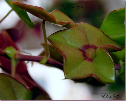 Pelargoner juli og aug-10 022