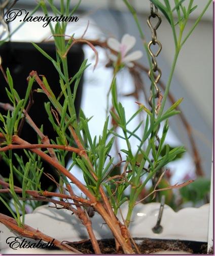 Pelargoner juli og aug-10 109