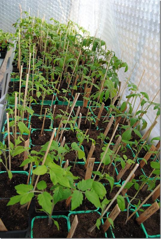 Pelargonium april -11 096