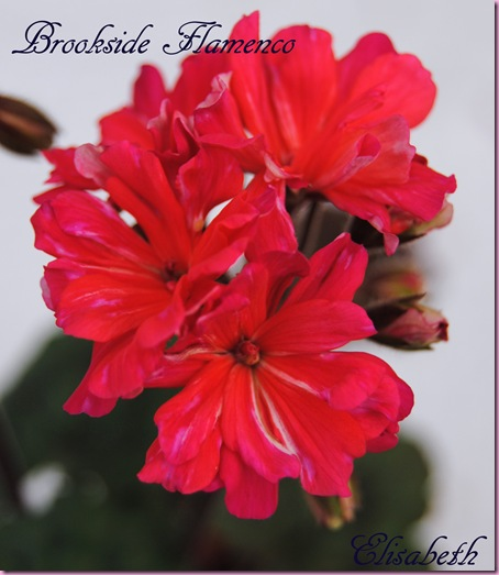 Pelargonium april -11 065