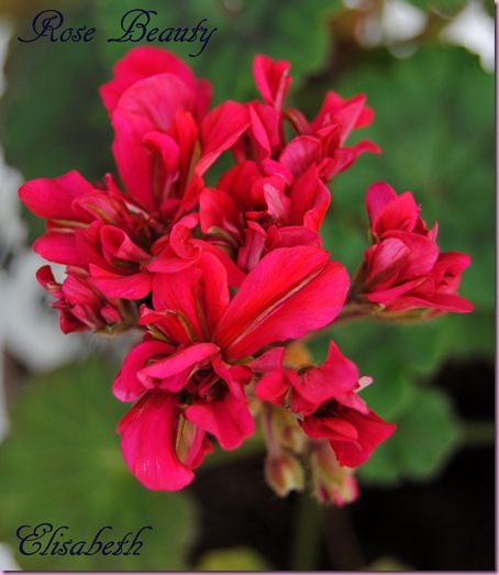 Pelargonium april -11 061