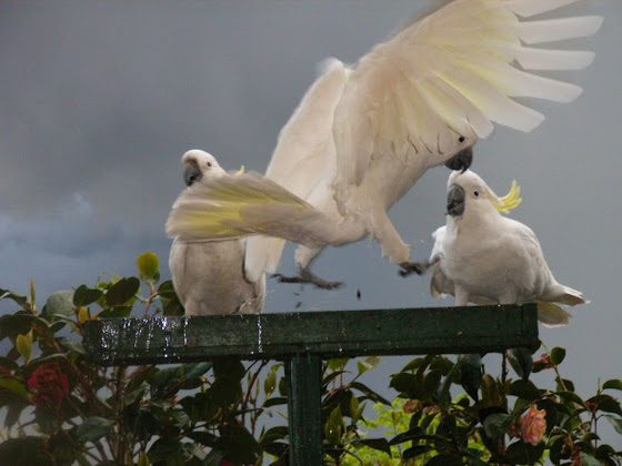 Cockatoos by GP