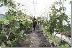 Ladang Anggur Kak CT 13.11.2010 017