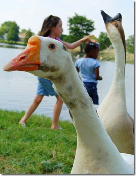 ducks9