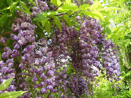Wisteria sinensiss (Sims) Sweet Black Dragon 5977 De Dreijen.JPG