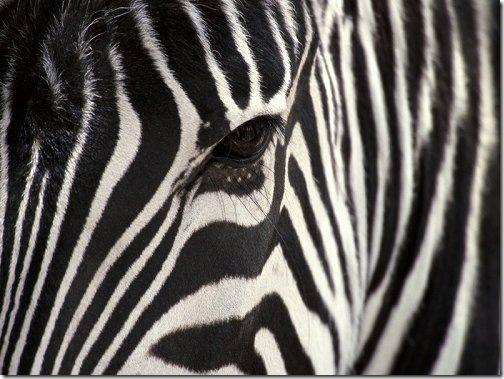 leopard_zebra