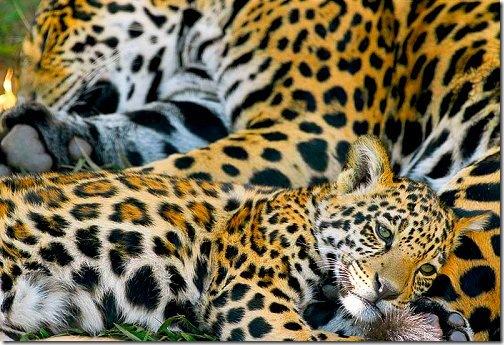 Jaguar_cub