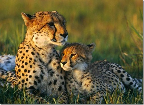 cheetah_mom_and_cub