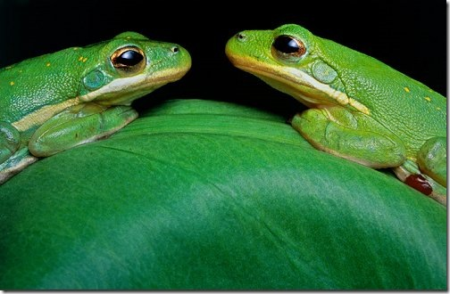 green_tree_frogs_wallpapers