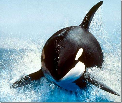 killer_whale