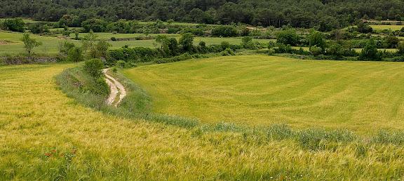 Camps de cereal a la primavera als voltants de Senan,Senan, Conca de Barberà, Tarragona