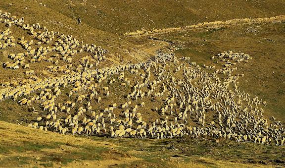Ramat d'ovelles a les pastures de Llessuí a finals d'estiu, vall d'Àssua, Pirineu català,Sort, Pallars, Sobirà, Lleida2004.09