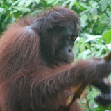 male Orang Utan eating sugar cane Sepilok