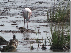 5790 Roseate Spoonbill South Padre Island Texas
