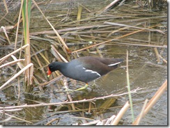 5169 Common Moorhen along Nature Walk South Padre Island Texas
