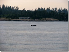 4997 Orca Whale Watching Victoria BC