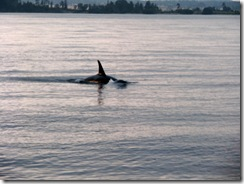 5060 Orca Whale Watching Victoria BC
