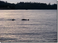 5055 Orca Whale Watching Victoria BC