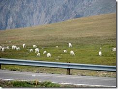 6032 Mountain Goats Beartooth Scenic Highway