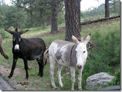 6455 Begging Donkeys on US 16A Peter Norbeck Scenic Byway Iron Mountain Road SD