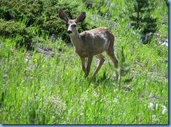 8677 Mule Deer Snowy Range Scenic Byway WY