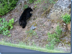 9442 Black Bear Going To The Sun Road GNP MT