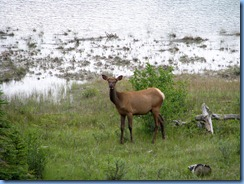 9941 Elk at  Jasper National Park AB