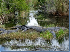 7424 Everglades National Park FL- Royal Palm Anhinga Trail - alligator