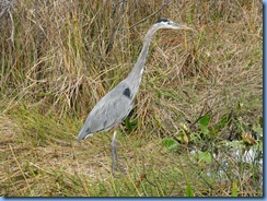 7405 Everglades National Park FL- Royal Palm Anhinga Trail - Great Blue Heron