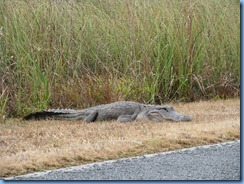 7464 Everglades National Park FL- Royal Palm Rd - alligator beside road