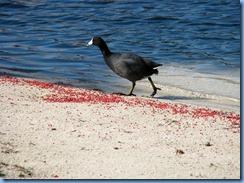 6976 Cutler Bay  FL walk American Coot