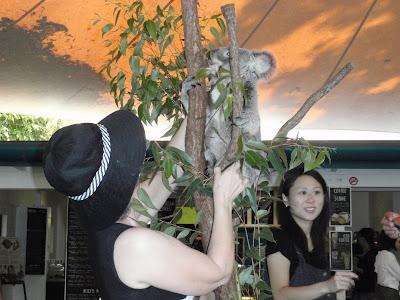 Buster Koala, Cairns Tropical Zoo