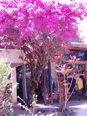 Brilliant tree welcoming us to Kuranda