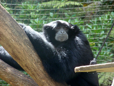 A Curious Chimp Watches Passers-By
