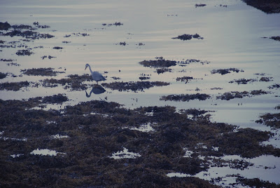 heron, low tide