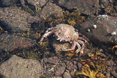 huge dead crab discovered in tidal pool