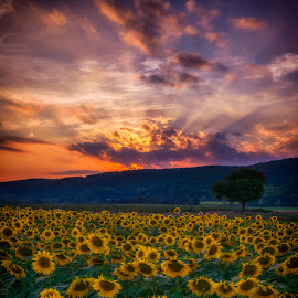 Sunflower Sunset III by Mark Rogers - Landscapes Prairies, Meadows & Fields ( clouds, field, sunset, sunflowers, rays )