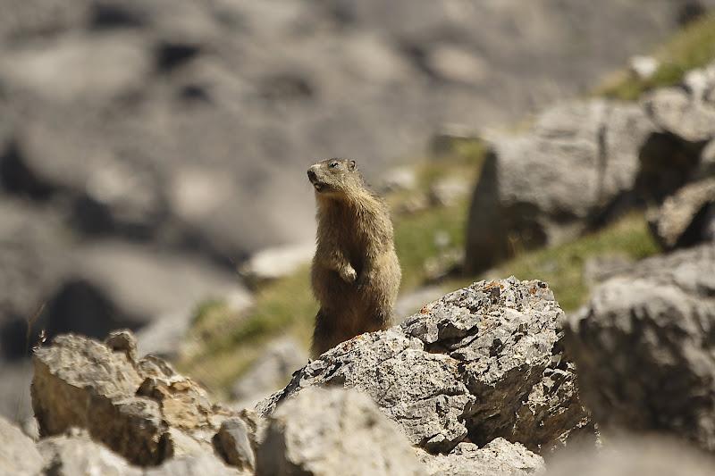 Marmotte des Alpes Xavier Gallice