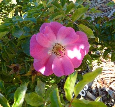 Rose3w