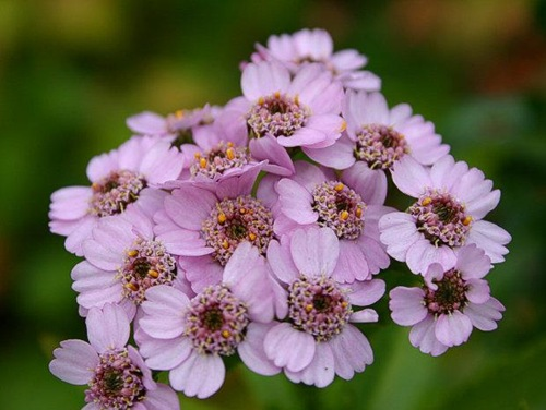 krwawnik-syberyjski-achillea-sibirica_1821[1]