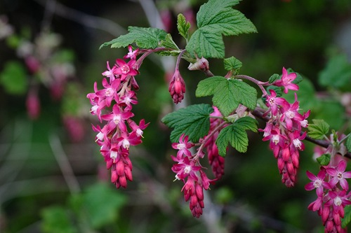 Pink_Flowering_Currant_closeup,_Ribes_sanguineum[1]