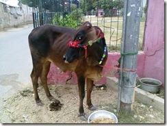 2010-11-09 Eid ul Azha Sacrificial Cow 055