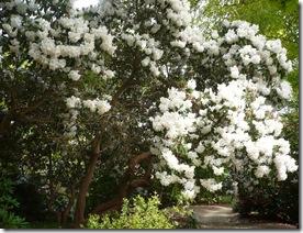 White rhodadenrons