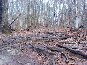 root-filled portion of the Company Mill Trail at Umstead