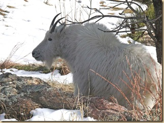 Black Hills Mtn Goat