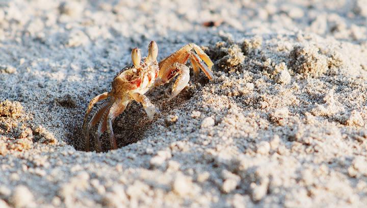 Ghost crab. Ko Lanta, Thailand