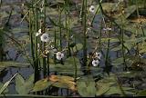 Sagittaire à feuilles en flèche/Sagittaria sagittifolia